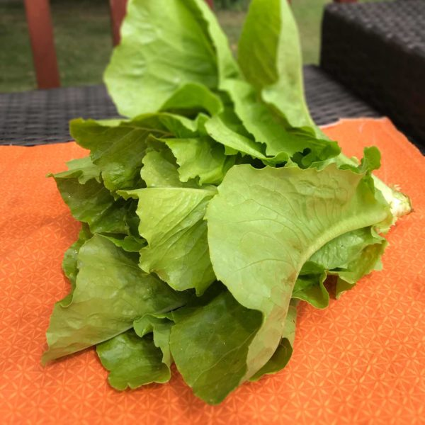 large head of romaine lettuce
